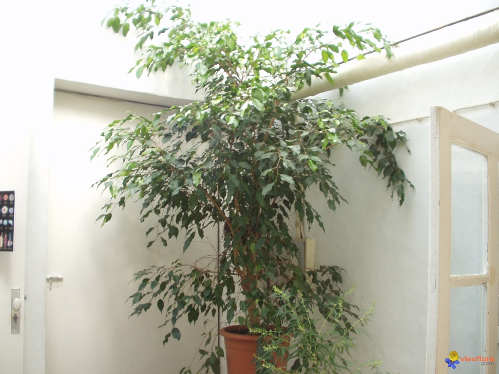 Arbre au jardin forum de jardinage for Ficus plante interieur