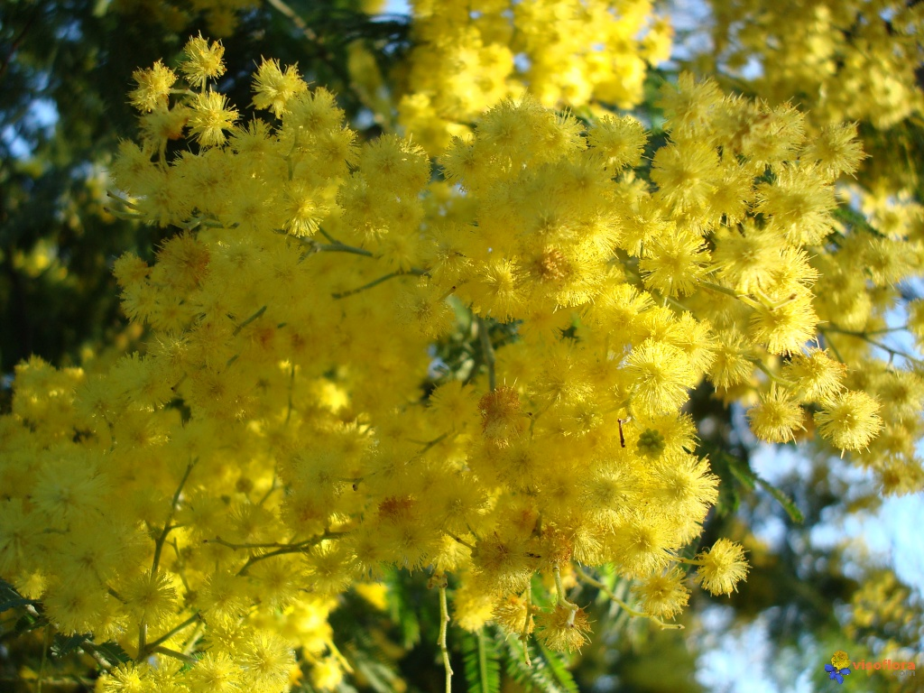 Quot Is The Acai Tree A Mimosa Mimosa Tea Recipe Quot Quot Plant