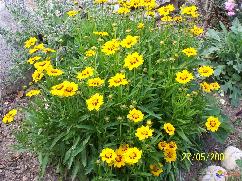 Photo coreopsis for Fleurs de jardin photos