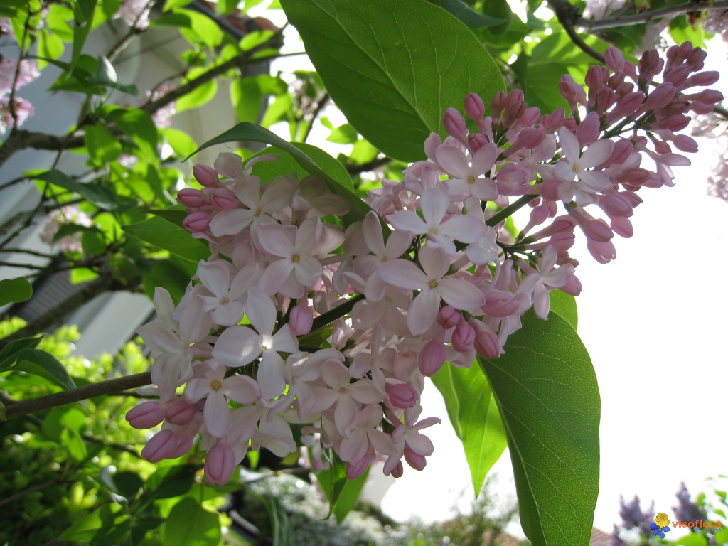 photo : fleurs de lilas rose