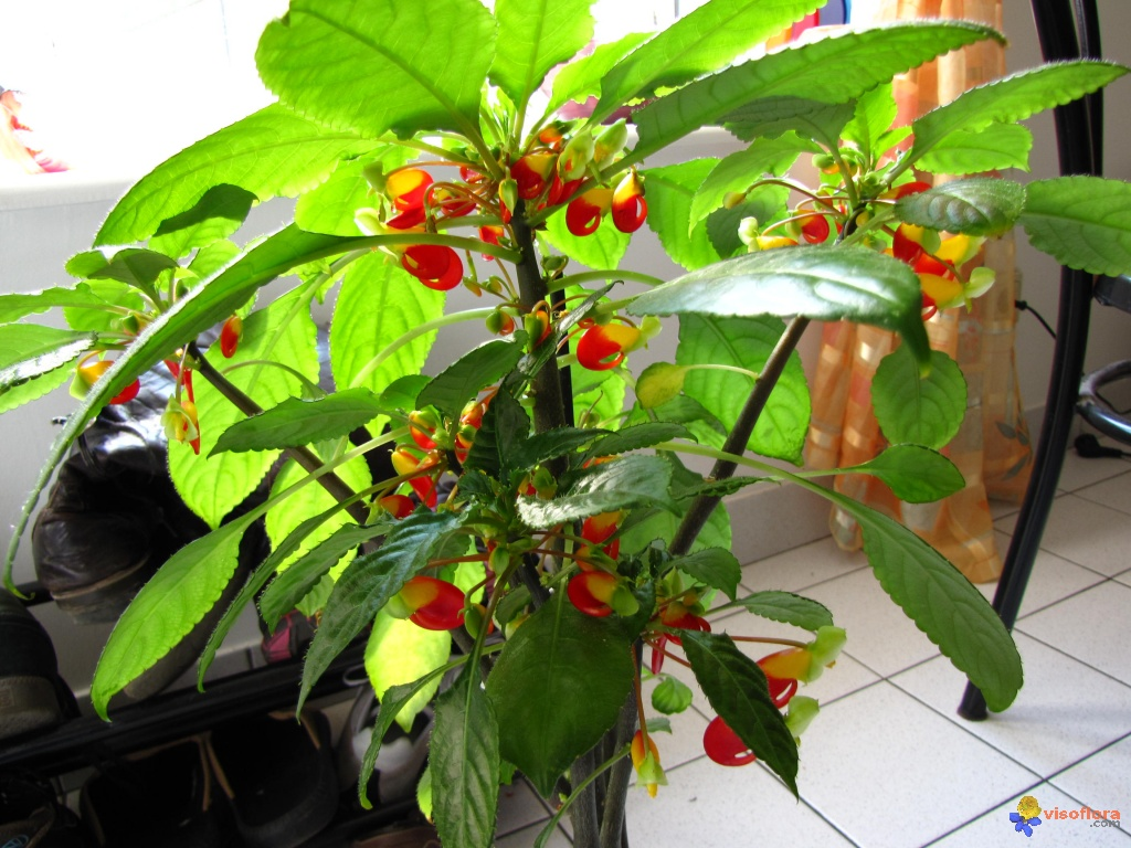 Photo floraison impatiens niamniamensis for Plante zanzibar