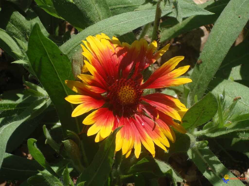 Photo gaillarde vivace for Fleurs vivaces