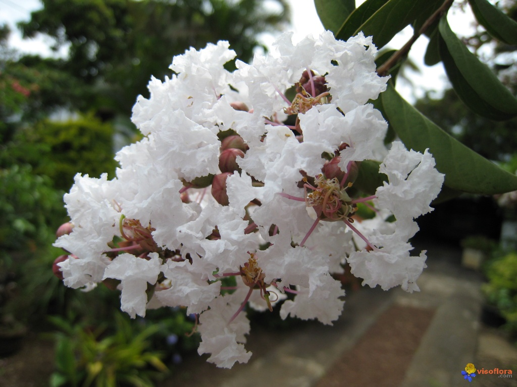 Photo lagerstroemia indica - Lilas des indes blanc ...