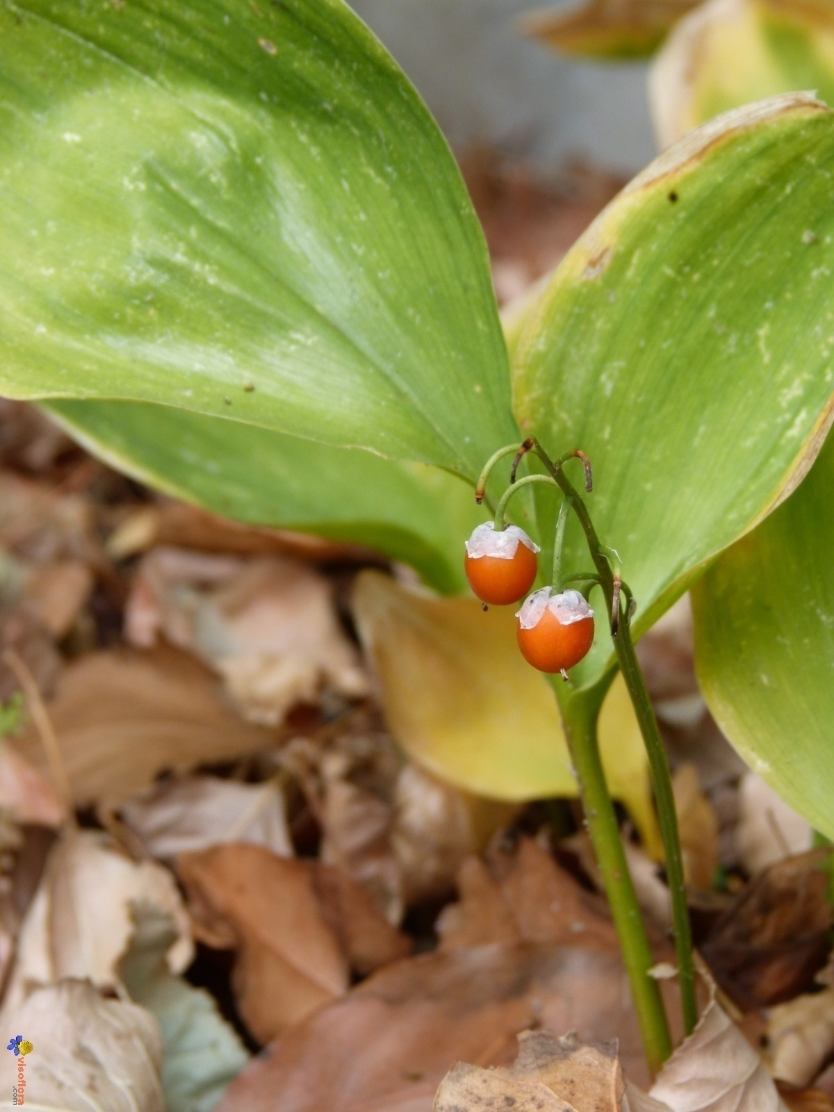 Photo graines de muguet - Ou planter du muguet ...