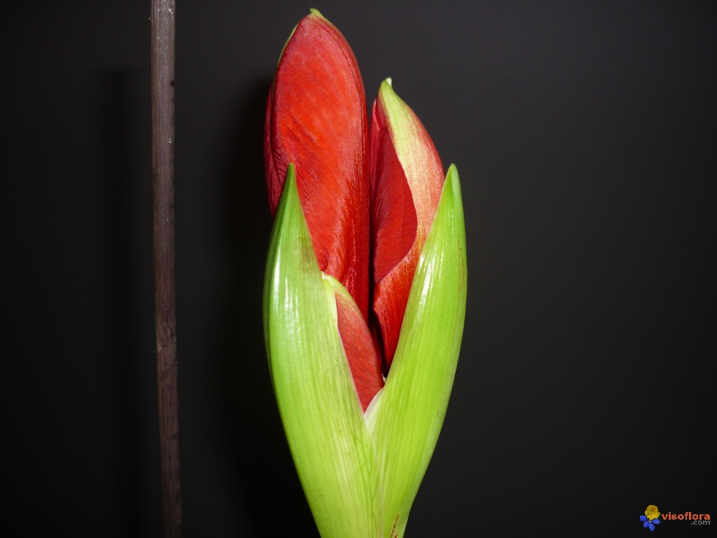 Photo hippeastrum royal red for Hippeastrum royal red entretien