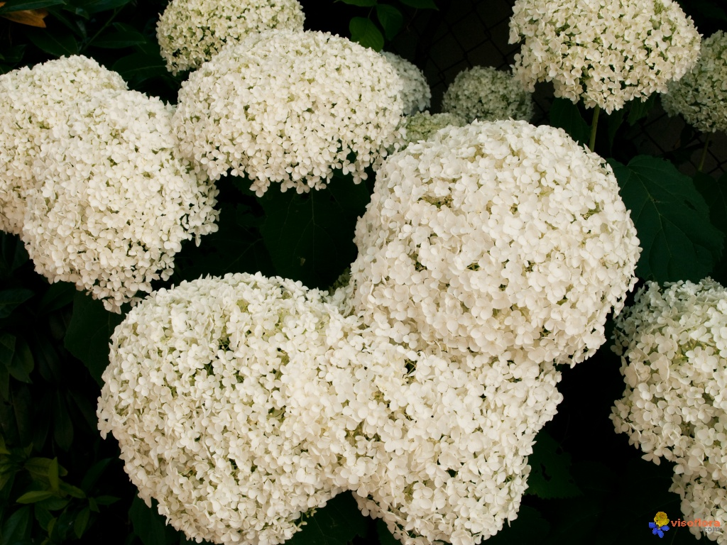Photo hydrangea arborescens for Hortensia arbustif