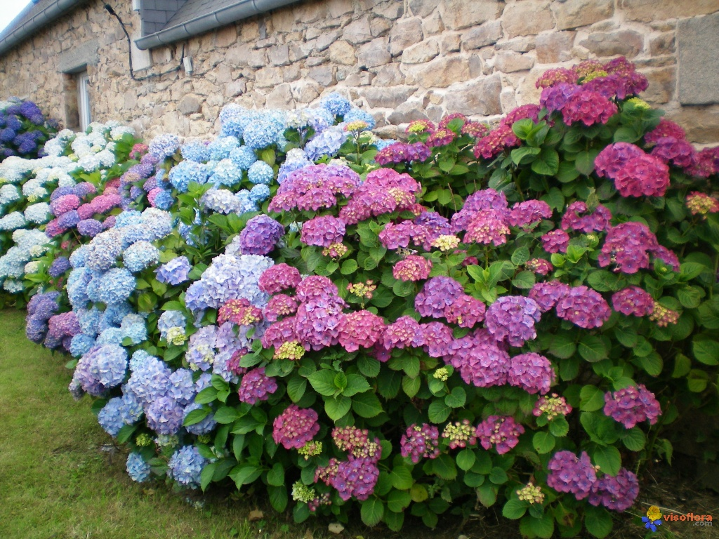 Photo : Hortensias, Bretagne, Côtes d'Armor -)