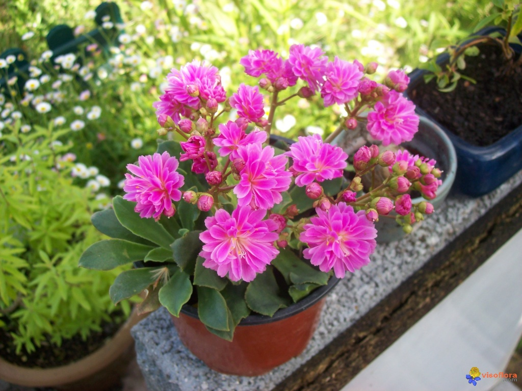 Photo lewisia for Plante grasse fleurie