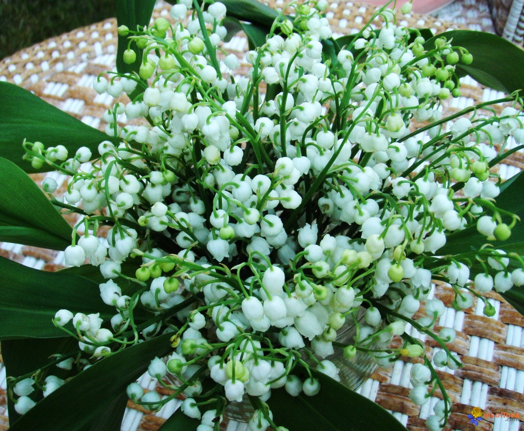 Photo muguet - Bouquet de muguet photo ...