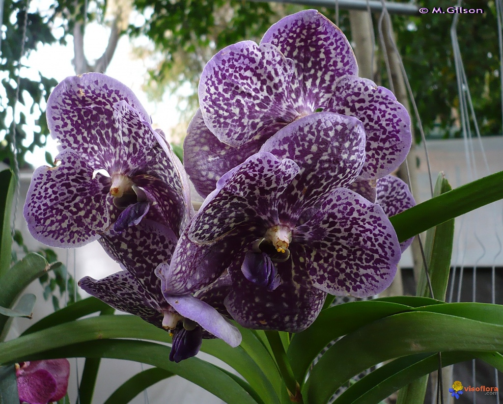 Photo orchid e vanda for Le orchidee