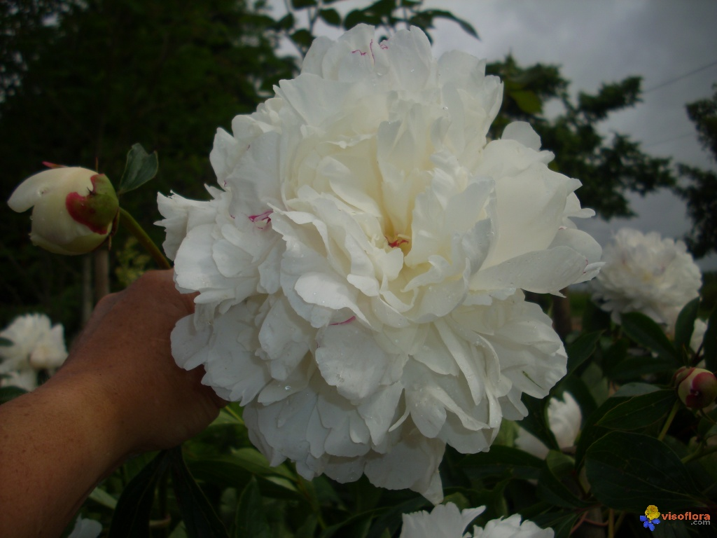 Photo pivoine blanche - Pivoine blanche signification ...