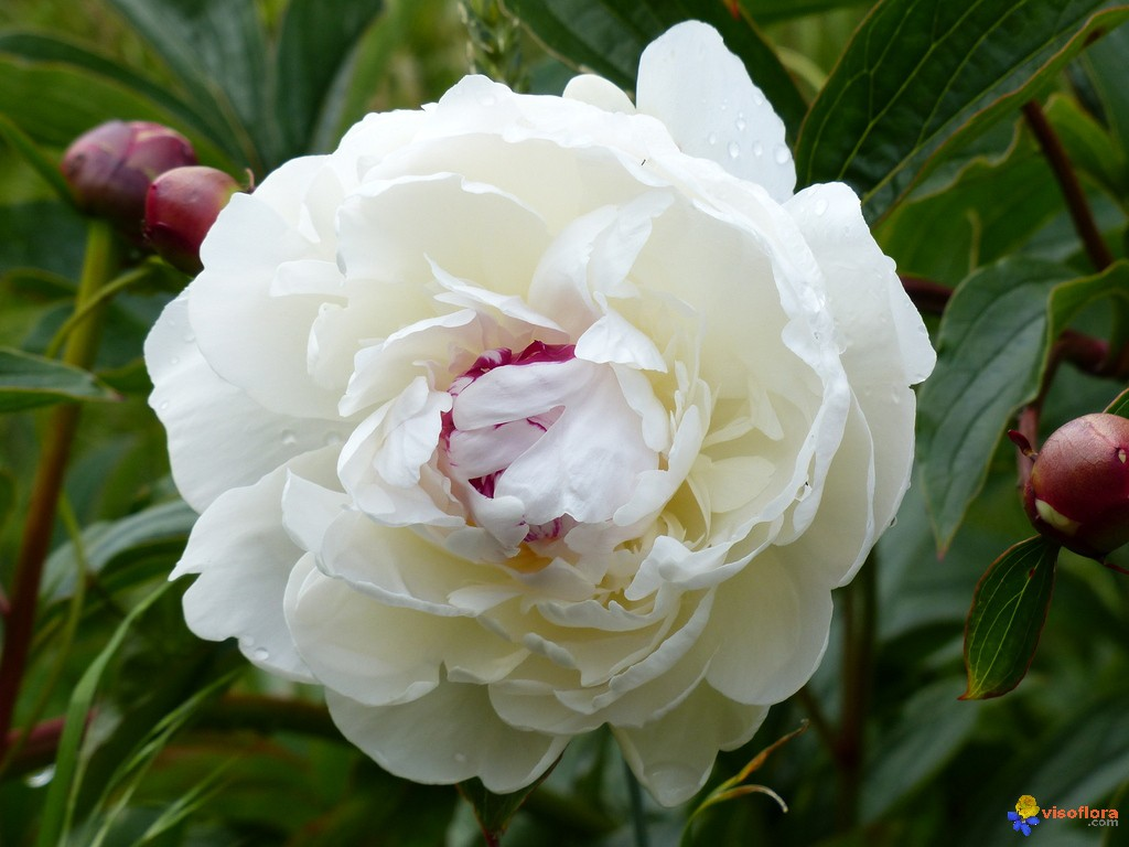 Photo pivoine herbac e blanche - Pivoine blanche signification ...