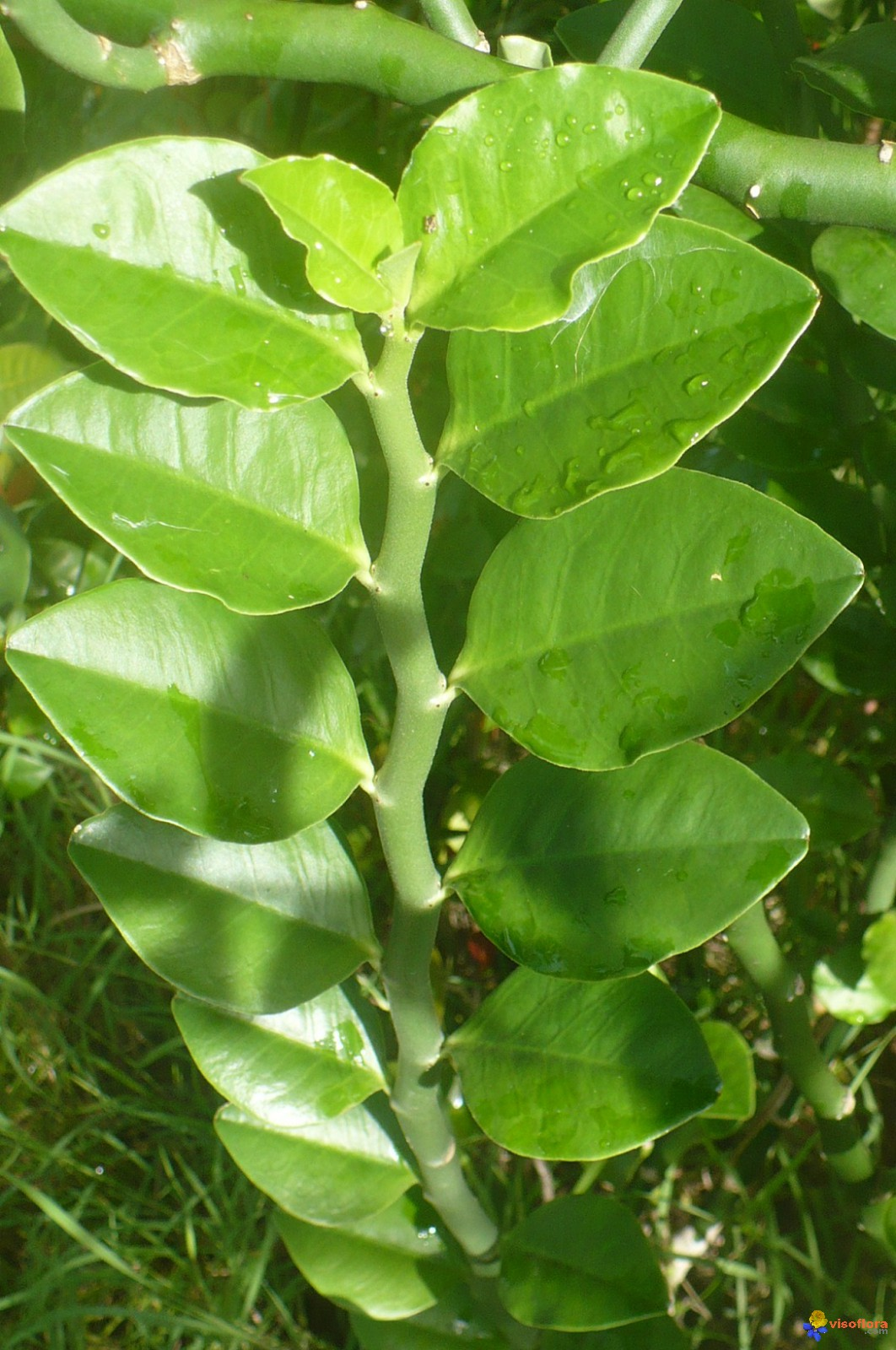 Photo a identifier plante de mon jardin en guadeloupe for Plante de jardin