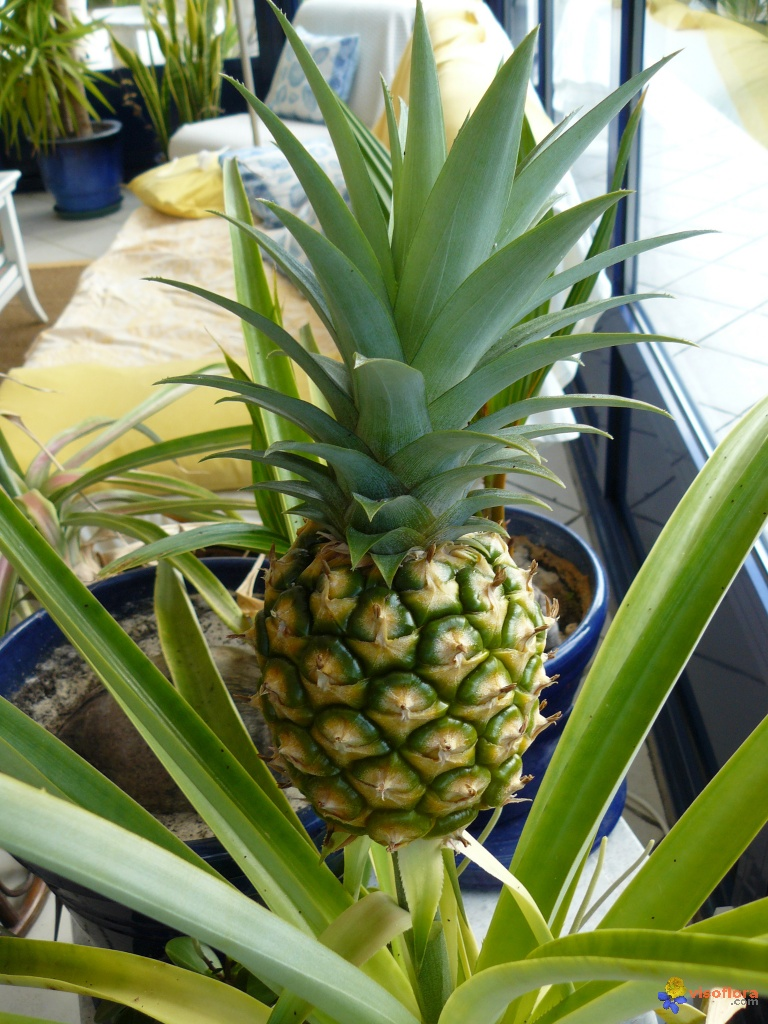 Photo planter un ananas 7 - Manguier resistant au froid ...