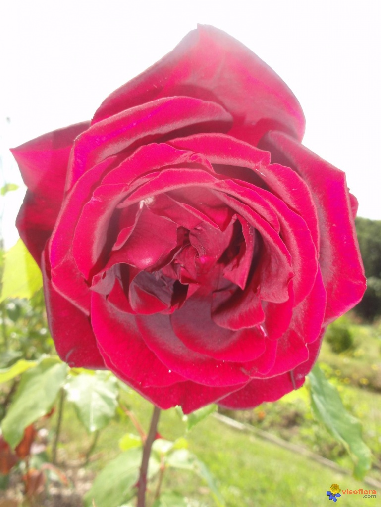 Rose pourpre