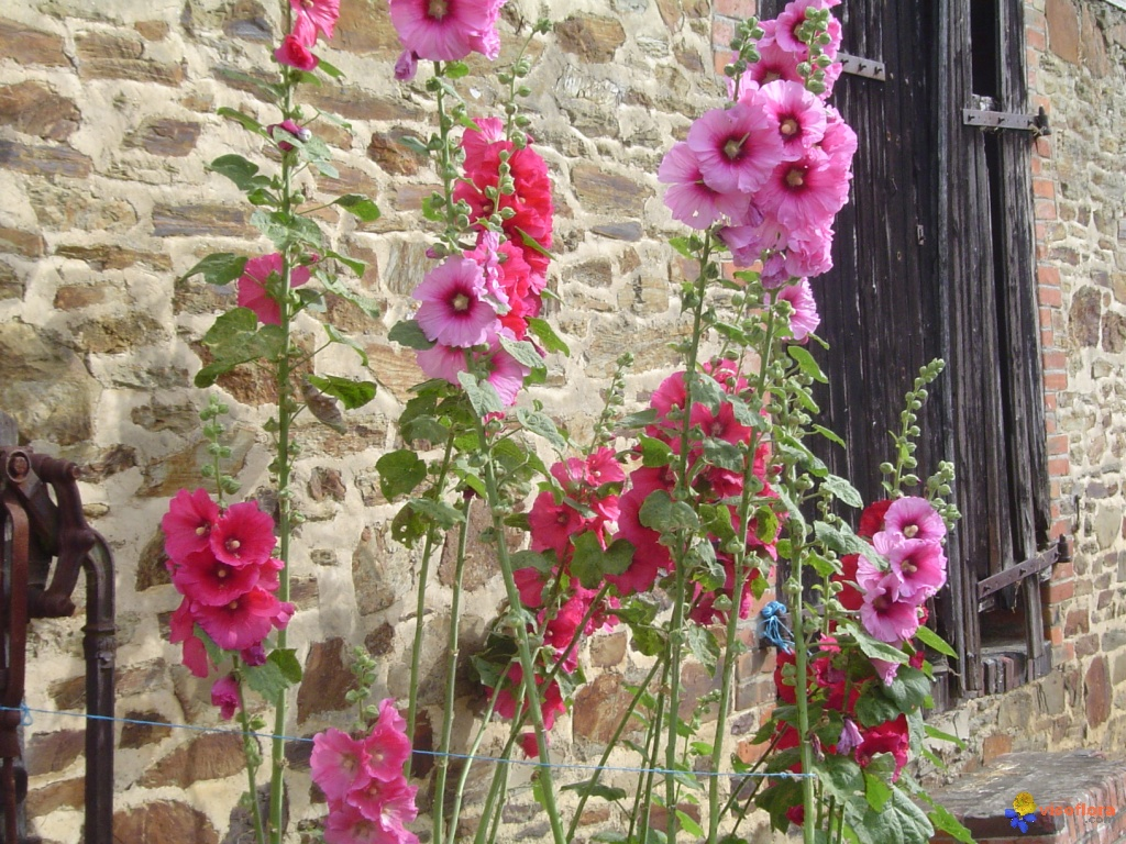 Photo roses tr mi res - Planter des roses tremieres ...