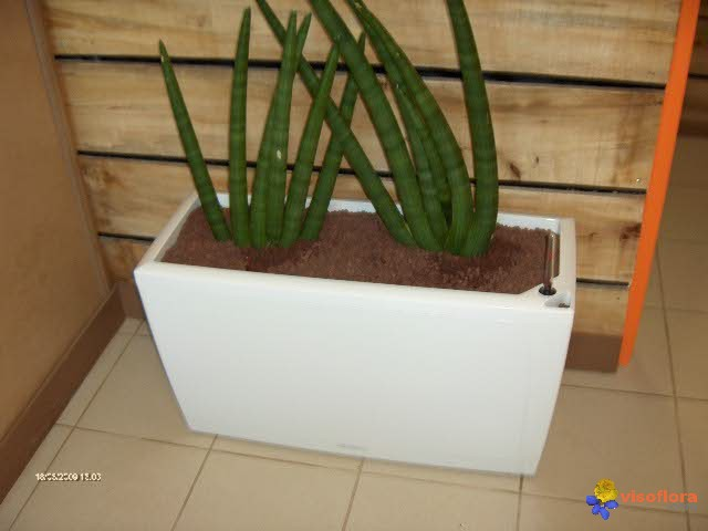 Photo sanseveria cylindro - Plante langue de belle mere ...