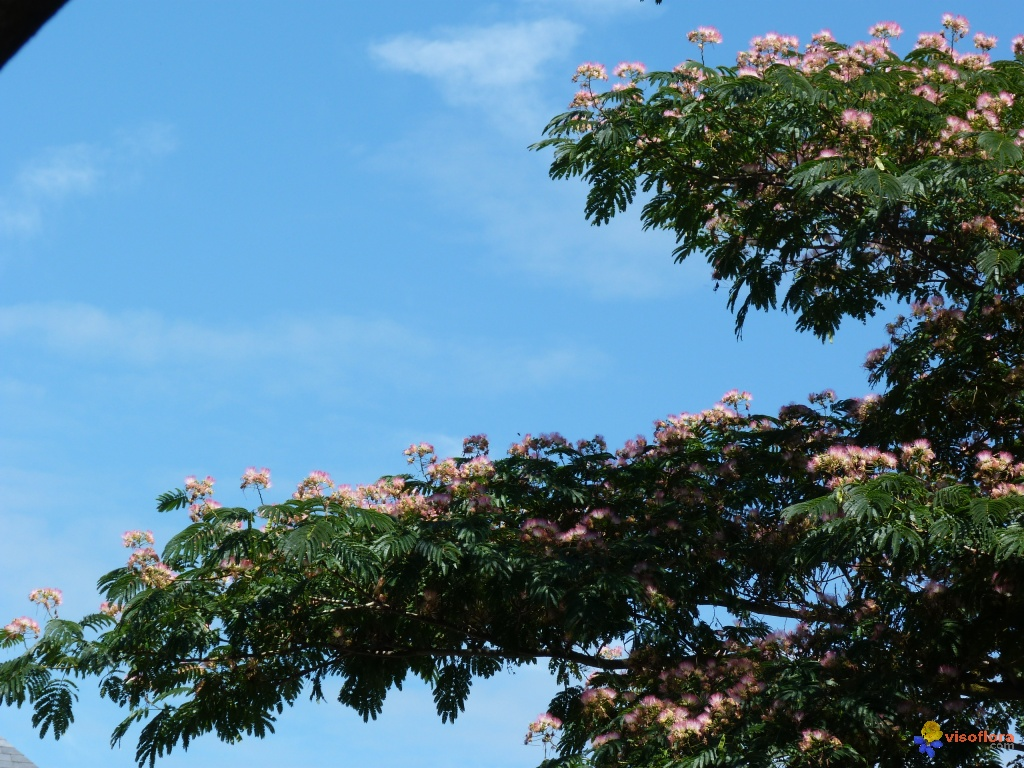 Photo suite albizia acacia de constantinople arbre for Acacia de constantinople prix