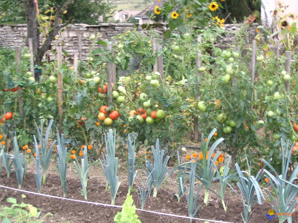 Photo tomates - Espacement pied de tomate ...