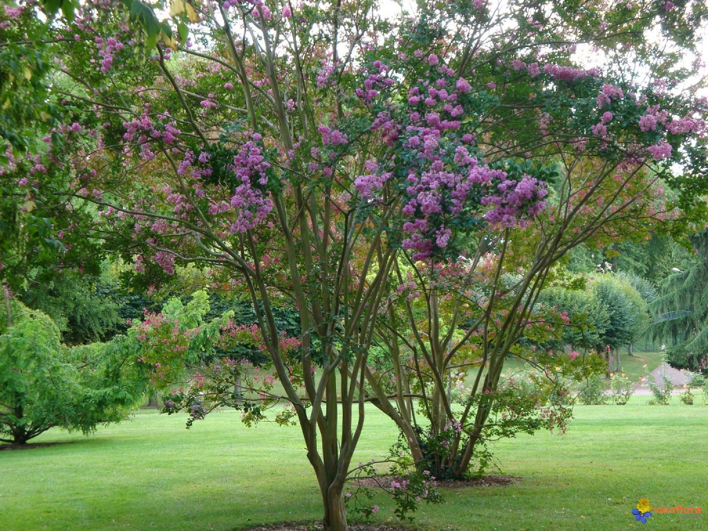 Photo lagerose lagerstroemia indica ou lilas des indes ou lilas d 39 t - Lilas des indes ne fleurit pas ...
