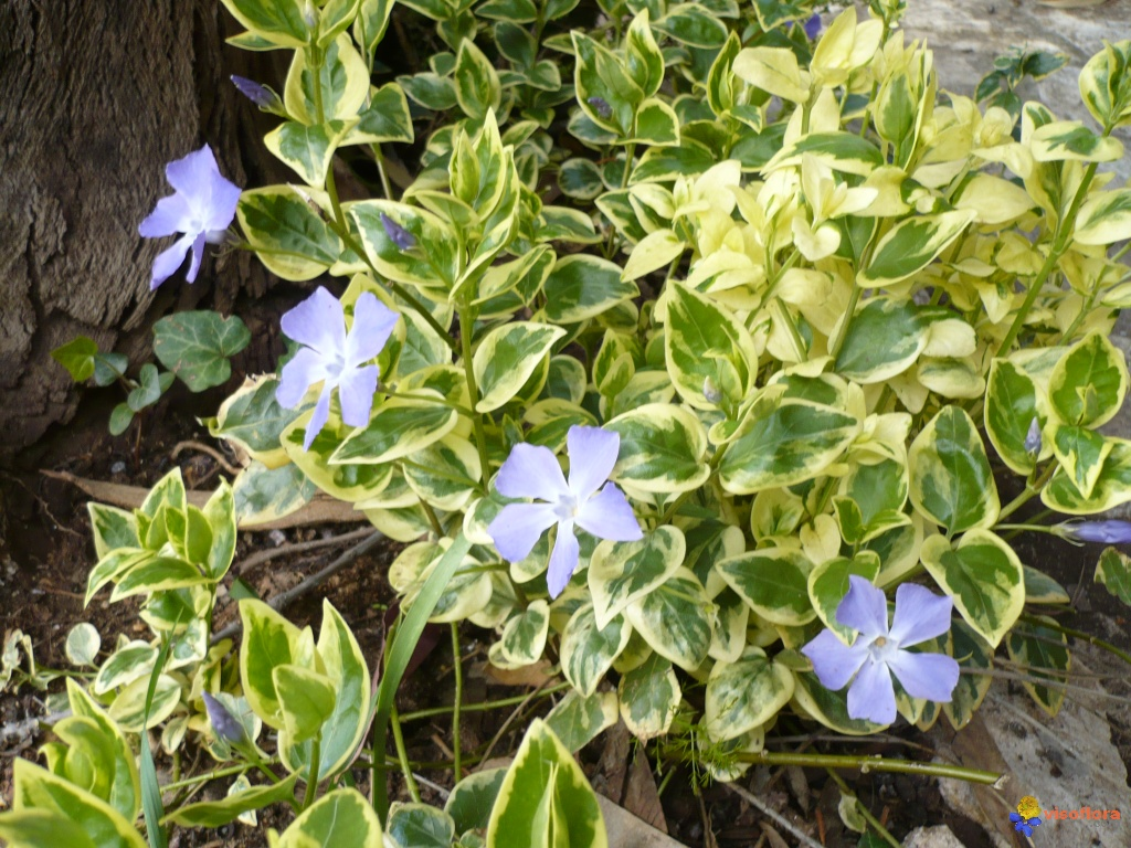 Photo vinca major variegata for Vinca major