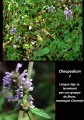Stachis officinalis