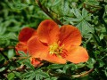 Potentilla fruticosa Hopley's orange...