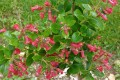 Escallonia rubra..
