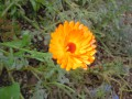 Souci officinal - Calendula officinalis