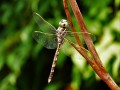Aeshna brevistyla femelle (Blue-spotted Hawker)