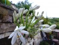 Agapanthe africaine  blanche