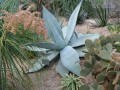 Agave...Tequilana?
