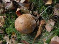 Amanita rubescens - Amanite rougissante.2