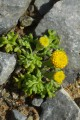Anthemis rigida