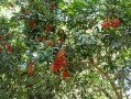 Arbre tropical fruits rouges 1/2