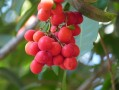 Arbre tropical fruits rouges 2/2