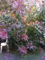 Cotinus coggygria (Royal Purple)