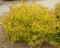 Spiraea japonica Goldflamme