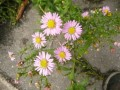 Aster amelle