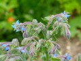 Bourrache officinale (Borago officinalis)