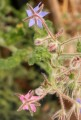 Bourrache officinale (Borrago officinalis)