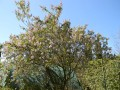 Buddleja officinalis