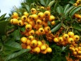 Buisson ardent (Pyracantha coccinea)