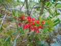 Callistemon sp