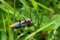 Cantharis rustica (Moine)