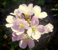 Cardamine crassifolia