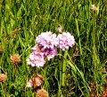 Armeria Allongée