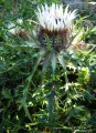 Carlina acaulis subsp. caulescens
