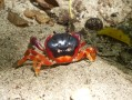 Crabe touloulou - Gecarcinus lateralis