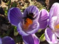 crocus et son occupant